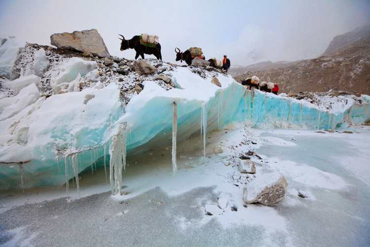 Yaks carry gear over the Khumbu Glacier en route from kathmandu to Everest.